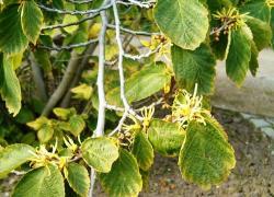Гамамелис вирджинский (Hamamelis virginiana)
