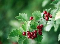 Боярышник (Crataegus pinnatifidа)