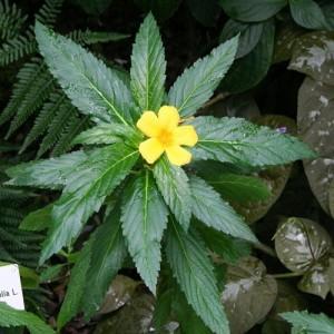 Дамиана (Turnera aphrodisiaca)