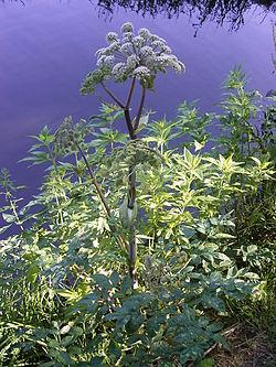 Донг-Куэй (Angelica sinensis, дягиль)