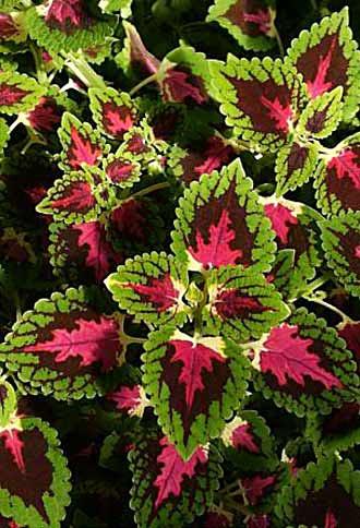 Цветок с красно зелеными листьями