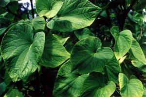 Кава (перец опьяняющий, кава-кава, Piper methysticum)