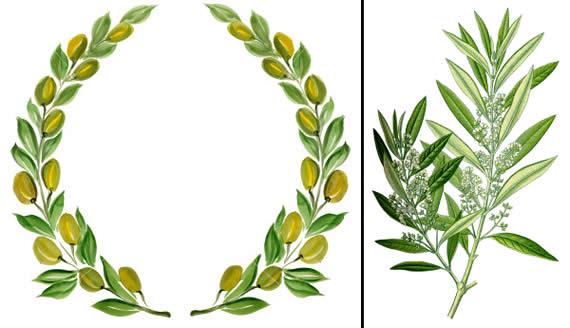 Олива, листья