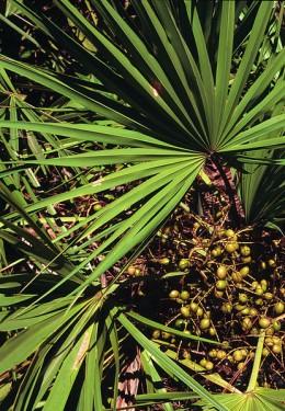 Карликовая пальма (Serenoa repens, сереноя ползучая)