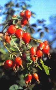 Шиповник коричневый (Rosa cinnamomeal, дикая роза)