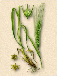 Ячмень обыкновенный (Hordeum vulgare)
